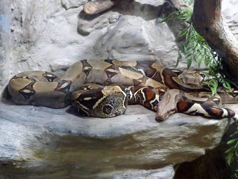 Обыкновенный удав фото (лат. Boa constrictor)