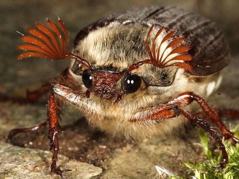 Усики майского жука фото