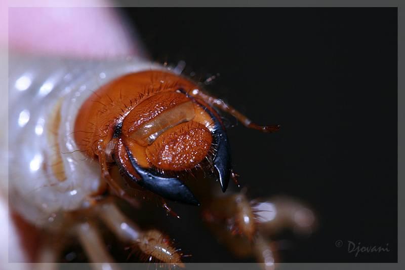 Челюсти личинки майского жука фото (Melolontha melolontha larva)