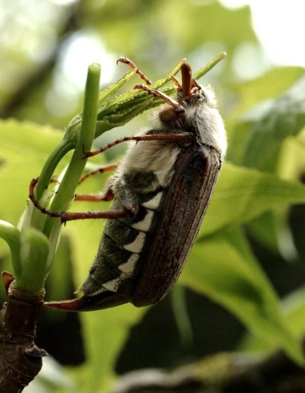 Что ест майский жук фото