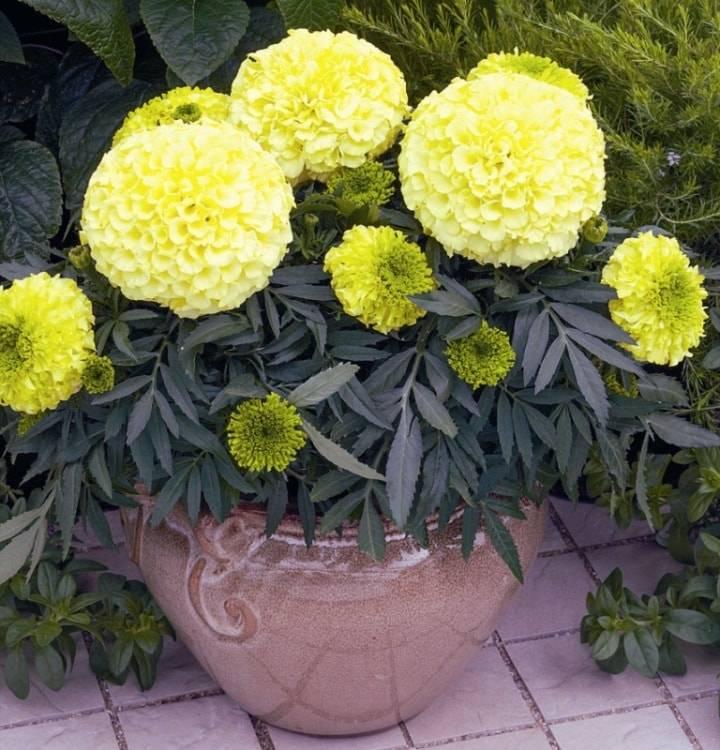 Бархатцы Антигуа F1 фото цветов