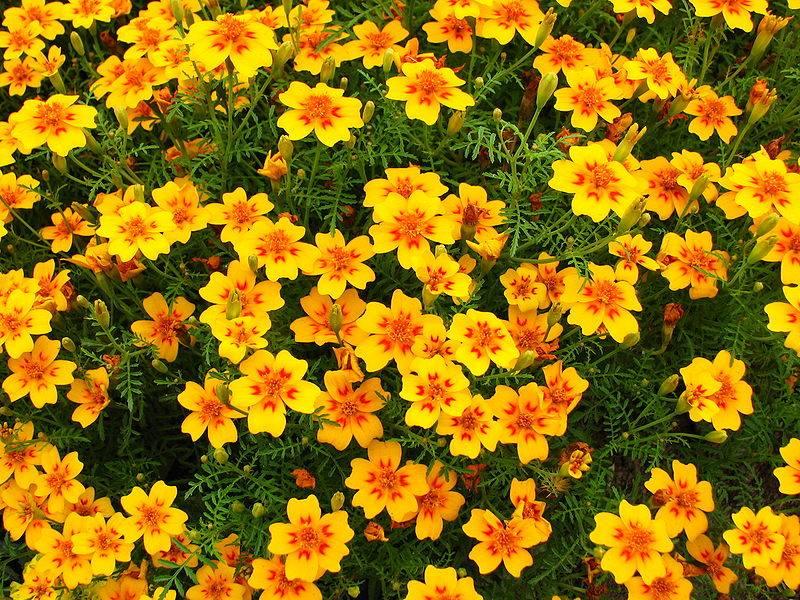 Бархатцы тонколистные (мексиканские) Танжерин Джем фото (лат. Tagetes tenuifolia Tangerine Gem)