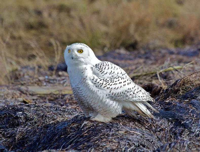 Белая сова (полярная сова) фото (лат. Bubo scandiacus, Nyctea scandiaca)