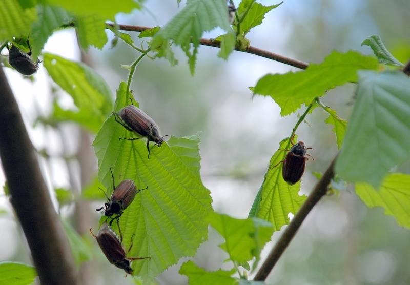 Борьба с майским жуком фото