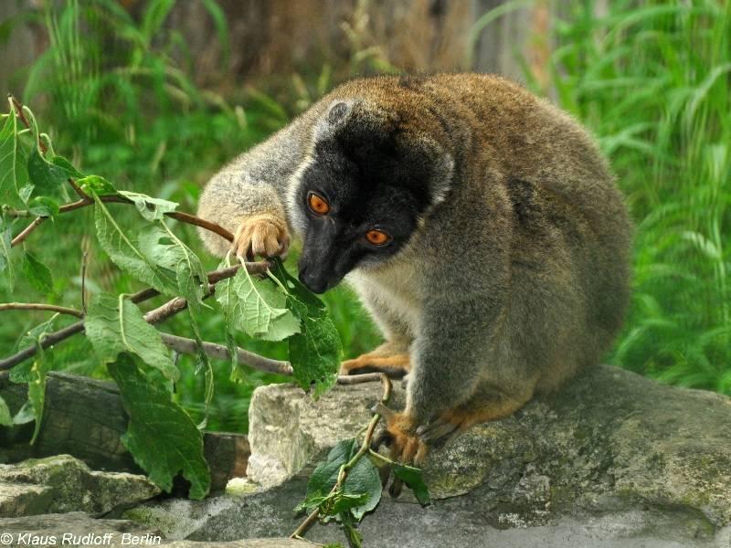 Бурый лемур фото (лат. Eulemur fulvus)