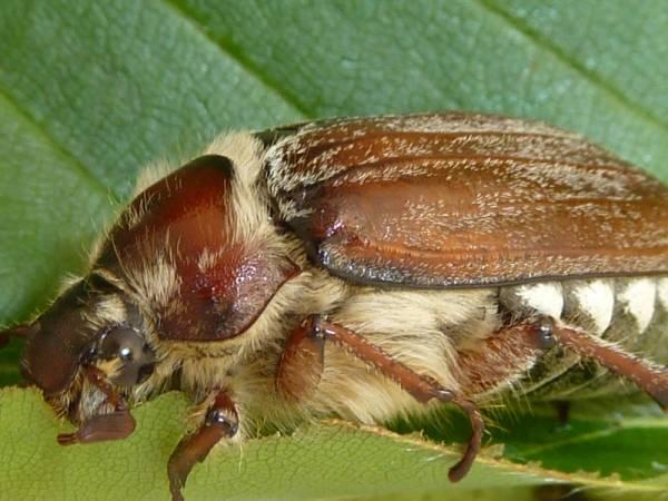 Волоски майского жука фото