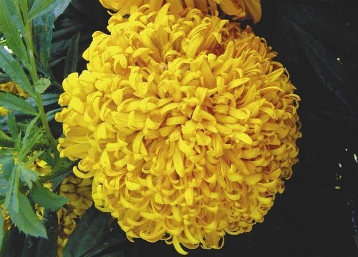 Высокие желтые бархатцы сорта Желтый камень фото (Tagetes erecta Gelber Stein)
