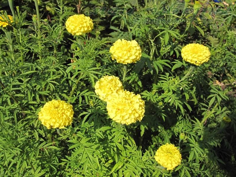 Высокие прямостоячие бархатцы сорта Лимонный Принц фото (Tagetes erecta Zitronen prinz)
