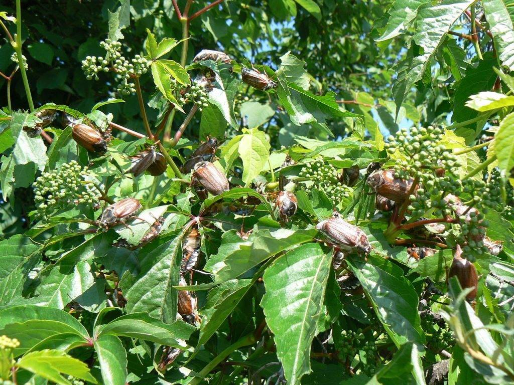 Где живет майский жук фото