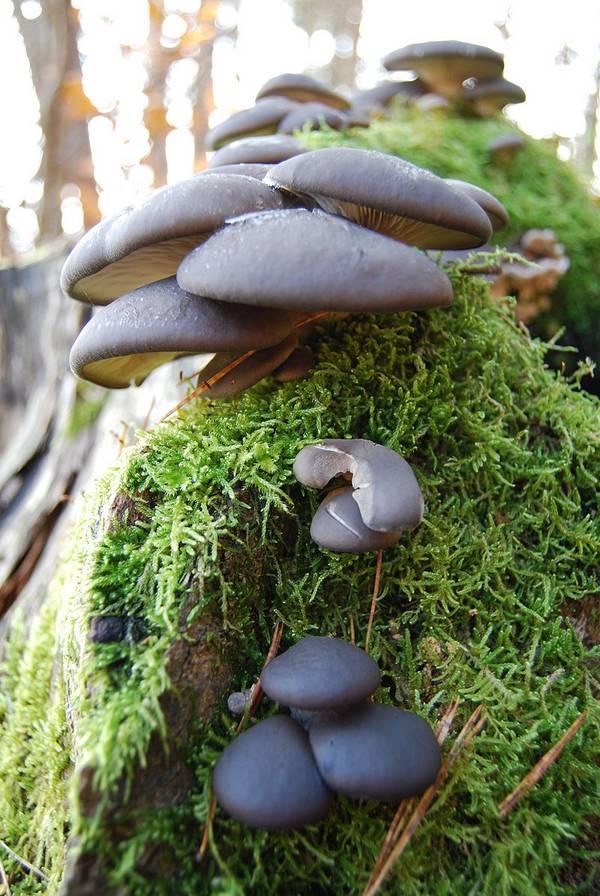 Где растут грибы вешенки фото
