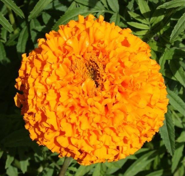 Гигантские прямостоячие оранжевые бархатцы Апельсин фото (Tagetes erecta orange)