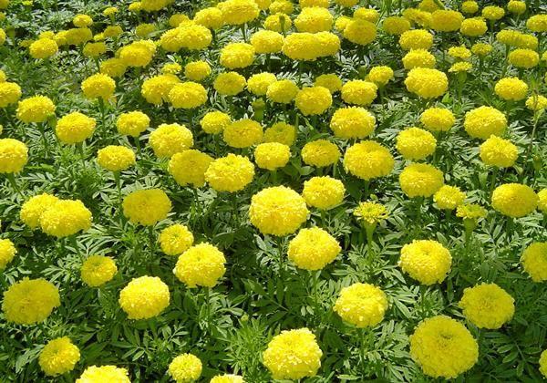 Гигантский сорт бархатцев Лемон Куин фото (Tagetes Lemon Queen)