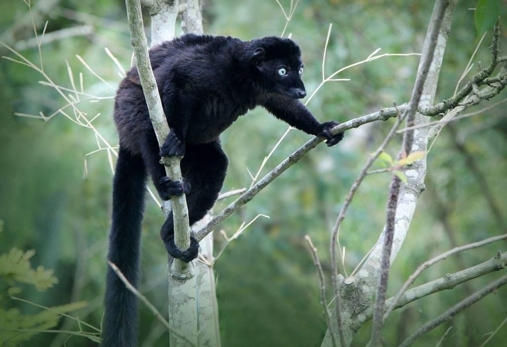 Голубоглазый лемур (черный лемур Склатера) самец фото (лат. Eulemur flavifrons)