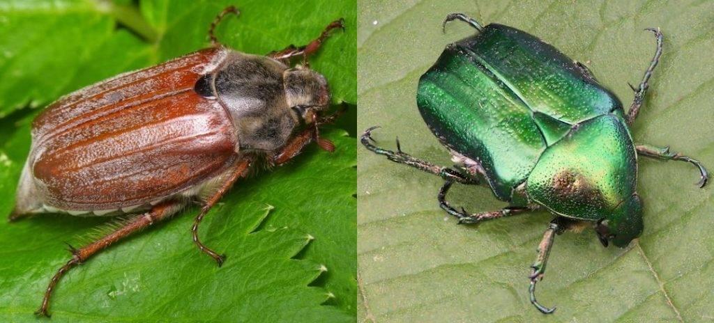 Зеленый жук бронзовка обыкновенная (лат. Cetonia aurata) и майский жук западный (лат. Melolontha melolontha) фото