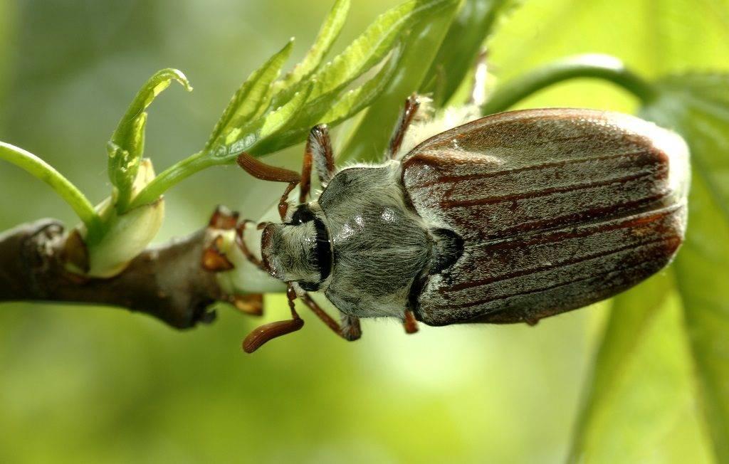 Как выглядит майский жук фото