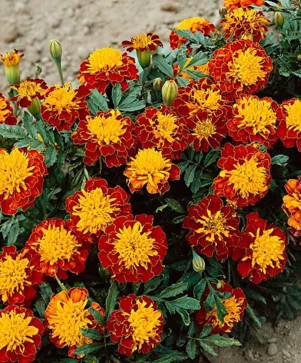 Карликовые мелкоцветные желто-бордовые бархатцы сорта Гармония фото (Tagetes patula Harmony)