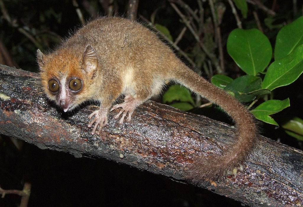 Карликовый мышиный лемур - самый маленький лемур в мире фото (лат. Microcebus myoxinus)