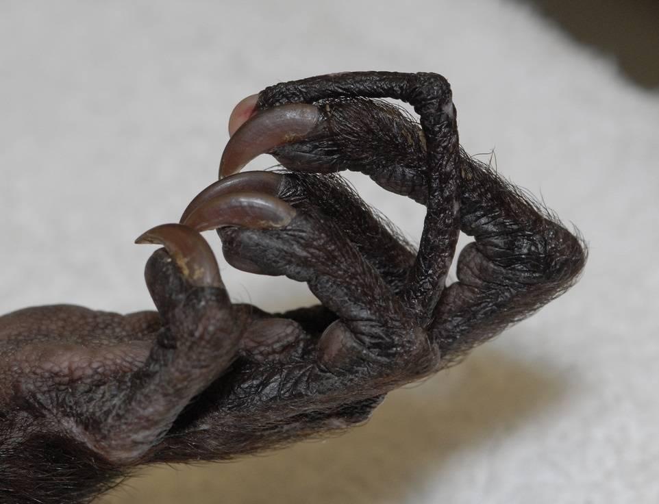 Когти мадагаскарской руконожки фото