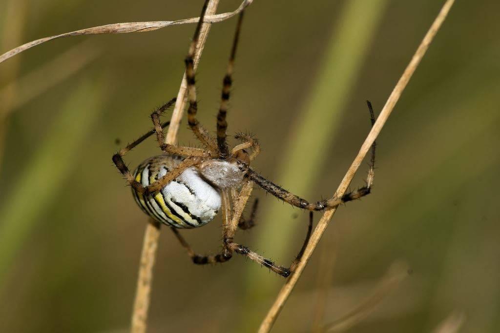 Конечности паука-осы фото