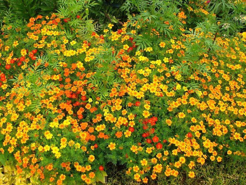 Красные, оранжевые и желтые бархатцы фото