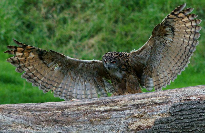 Крылья филина фото (вид – обыкновенный филин Bubo bubo)
