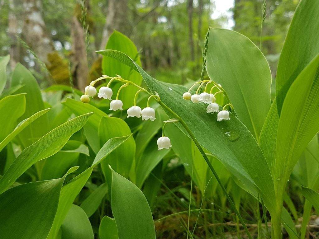 Ландыш майский фото (лат. Convallaria majalis)