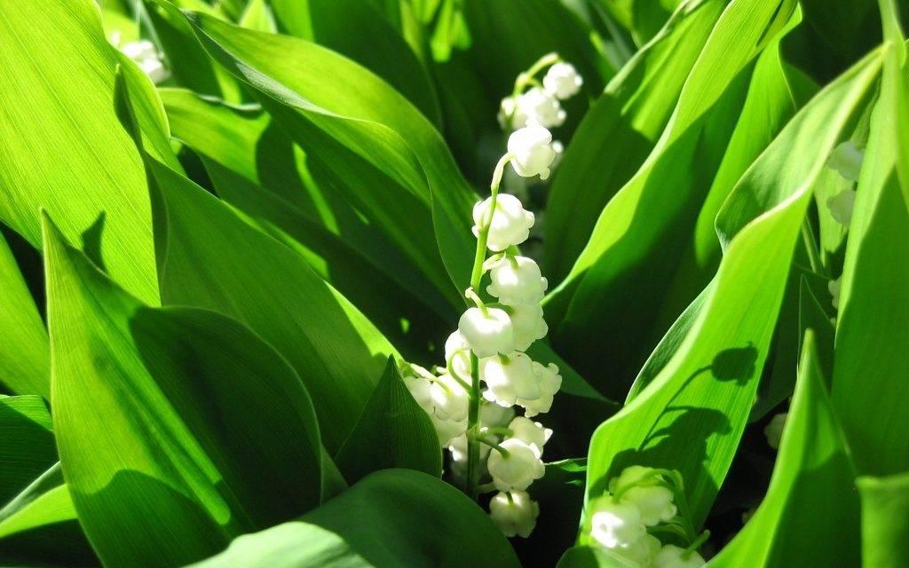 Ландыш фото растения