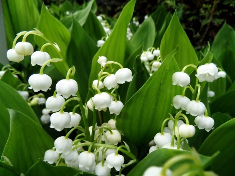 Ландыш фото цветов