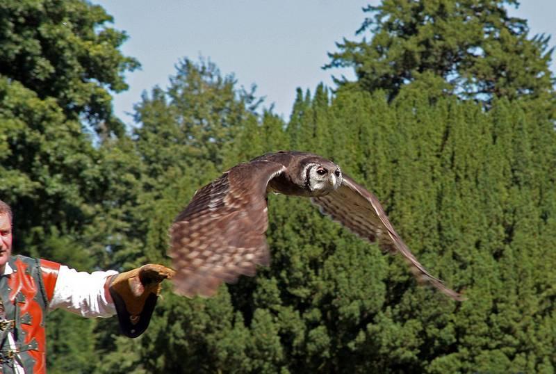 Летящий филин фото (вид – бледный филин)