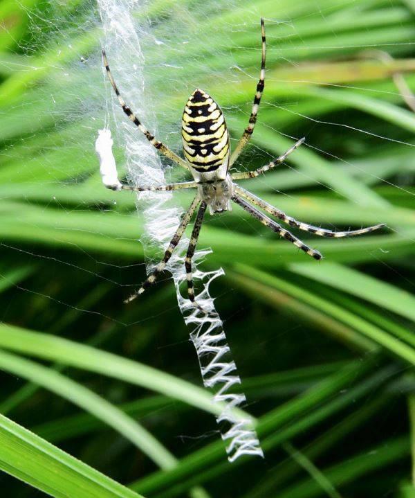 Линейный стабилиментум паука осы фото