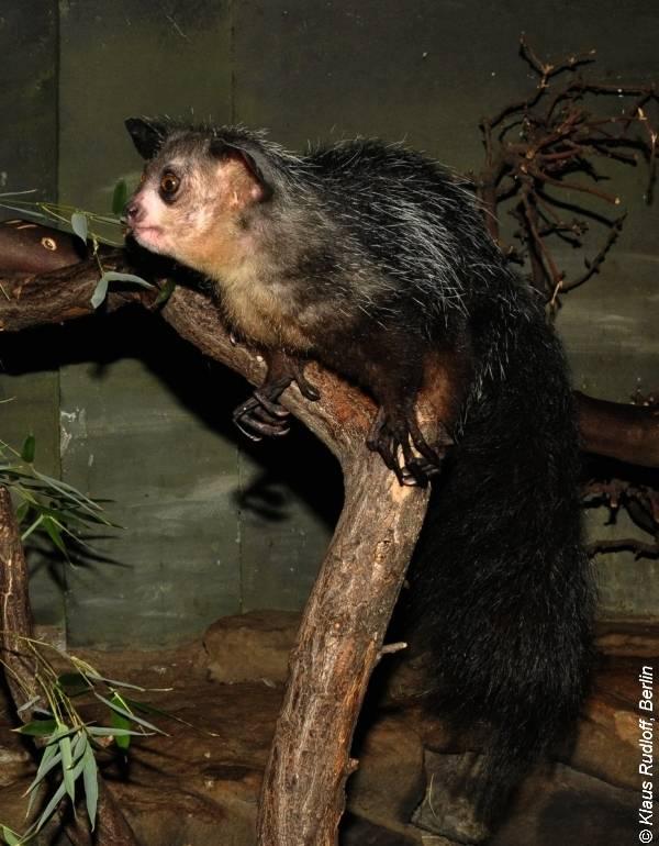 Мадагаскарская руконожка (ай-ай, айе-айе) фото (лат. Daubentonia madagascariensis)