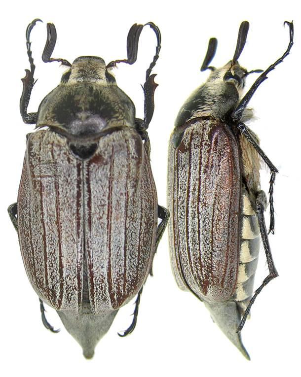 Майский жук Melolontha kraatzi фото