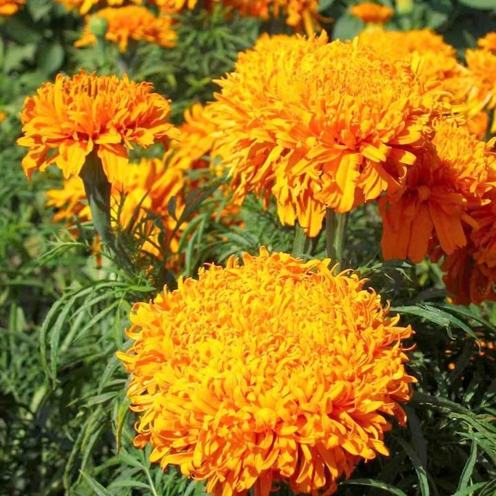 Махровые оранжевые бархатцы Фантастик Оранж фото (Tagetes erecta Fantastic Orange)