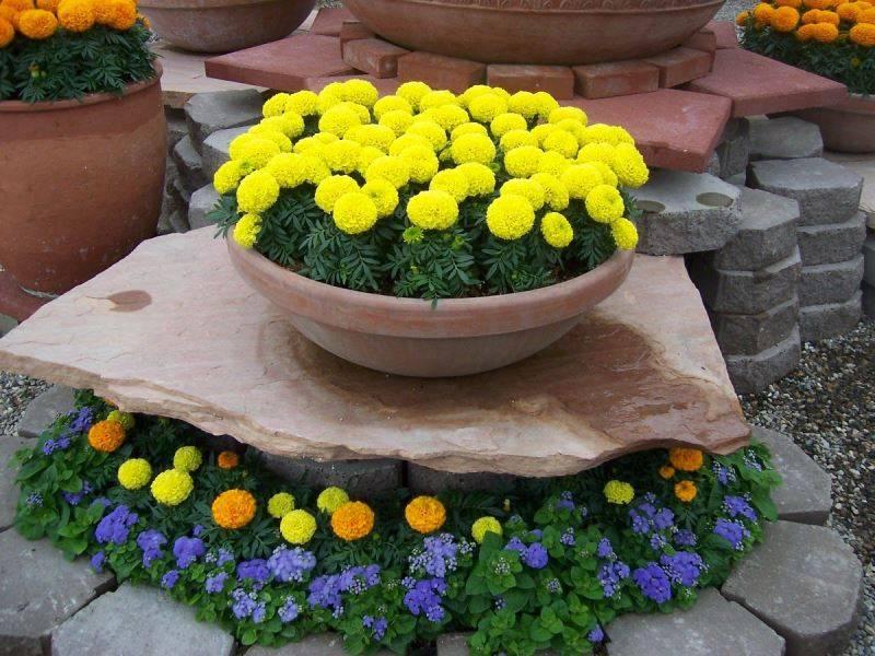 Низкие прямостоячие бархатцы сорт Дискавери Желтый фото (Tagetes Discovery Yellow)