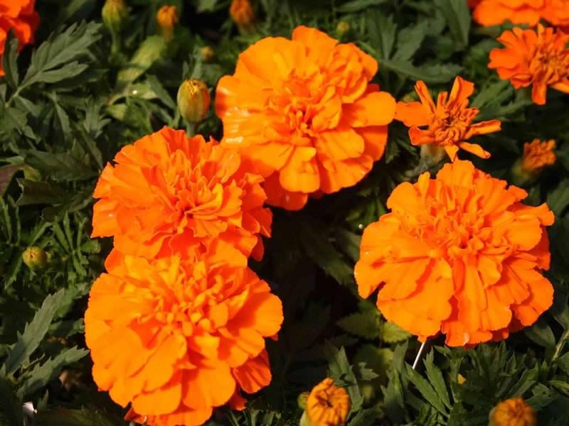 Отклоненные низкорослые оранжевые бархатцы сорт Бонанза Дип Орандж фото (Tagetes Bonanza Deep Orange)