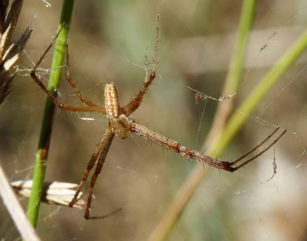 Паук-оса самец фото