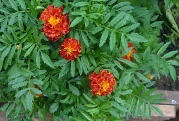 Полумахровые бархатцы Красная Брокада фото (Tagetes patula Red Brokade)