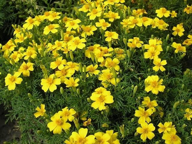 Простые желтые бархатцы Лимонный Джем (Лемон Джем) фото (Tagetes tenuifolia Lemon Jam)