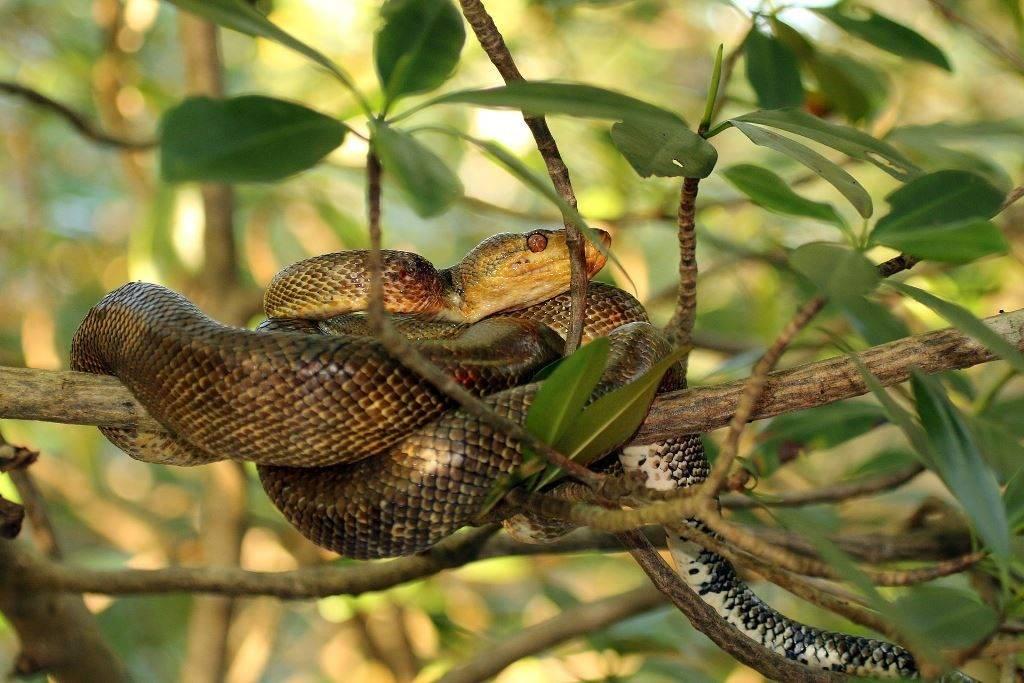 Садовый удав (узкобрюхий удав) фото (лат. Corallus hortulanus)