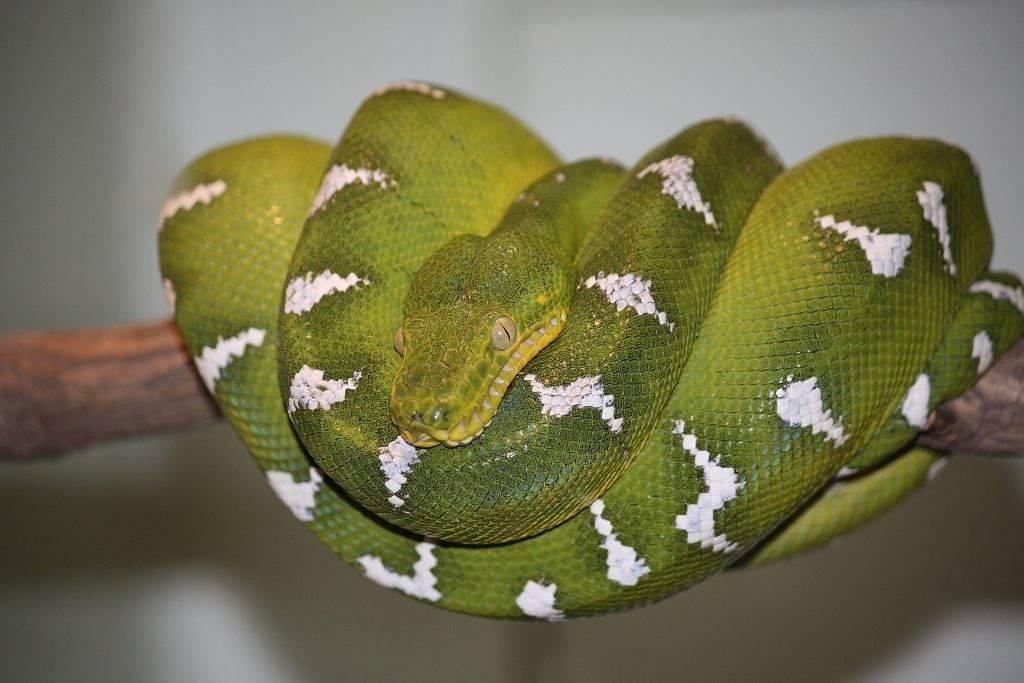 Собакоголовый удав (зеленый древесный удав) фото (лат. Corallus caninus)