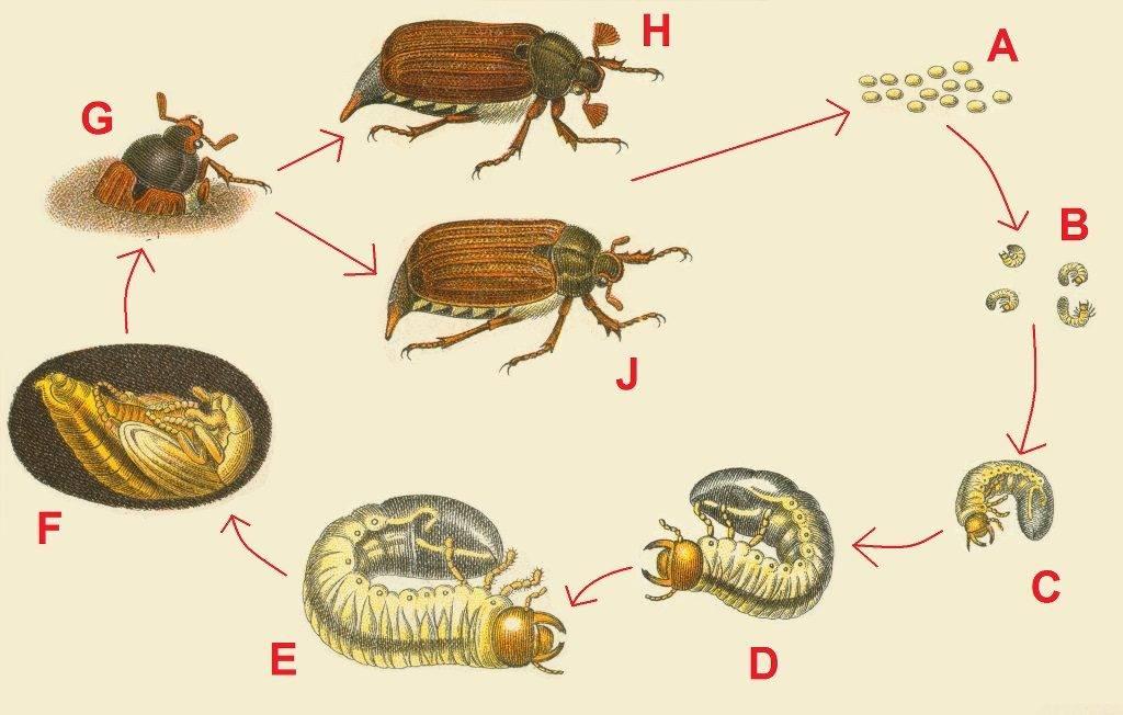 Стадии развития майского жука фото