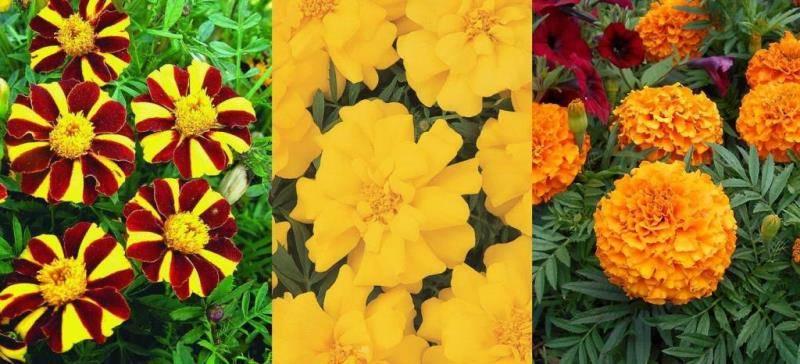 Форма цветов бархатцев фото