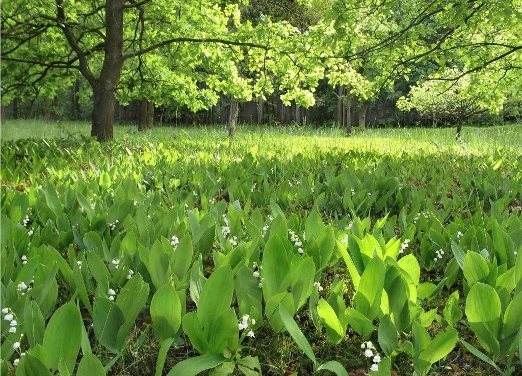 Фото ландышей в лесу