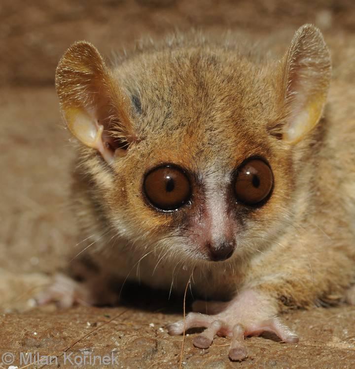 Фото лемура с большими глазами (вид – серый мышиный лемур)