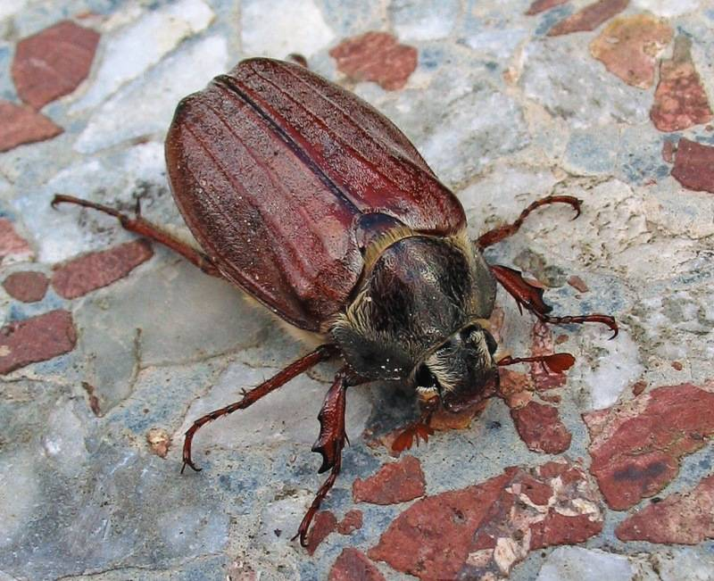 Хрущ майский западный (майский жук западный) фото (лат. Melolontha melolontha)
