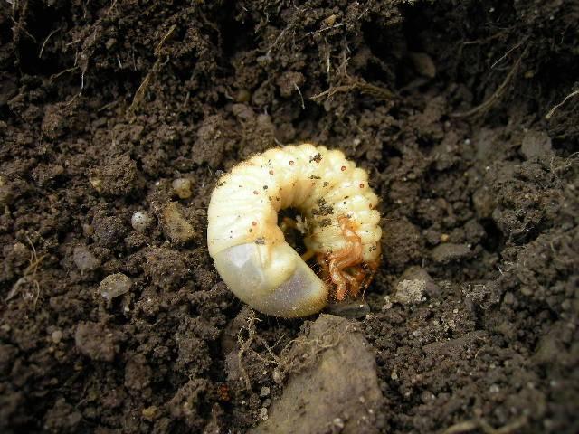 Чем питается личинка майского жука фото