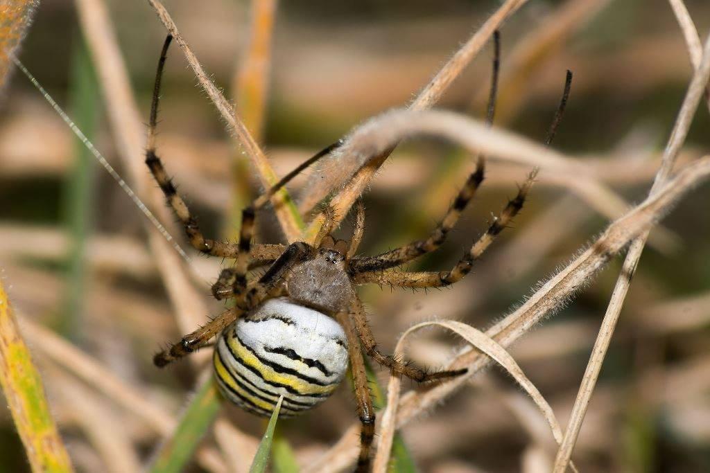 Черно-желтый паук-оса фото
