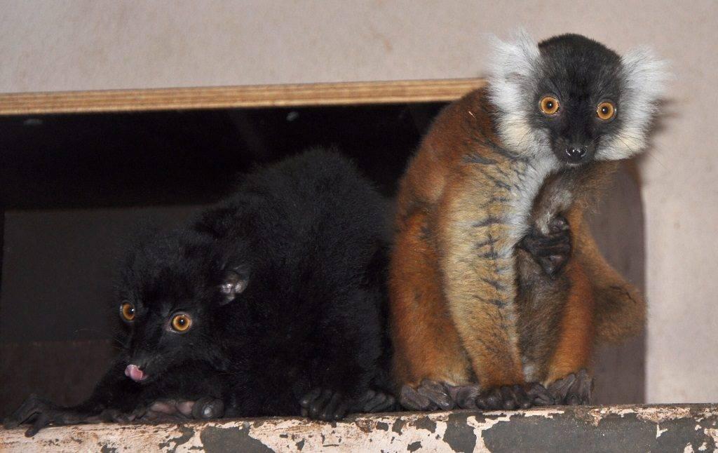 Черный лемур фото (лат. Eulemur macaco)