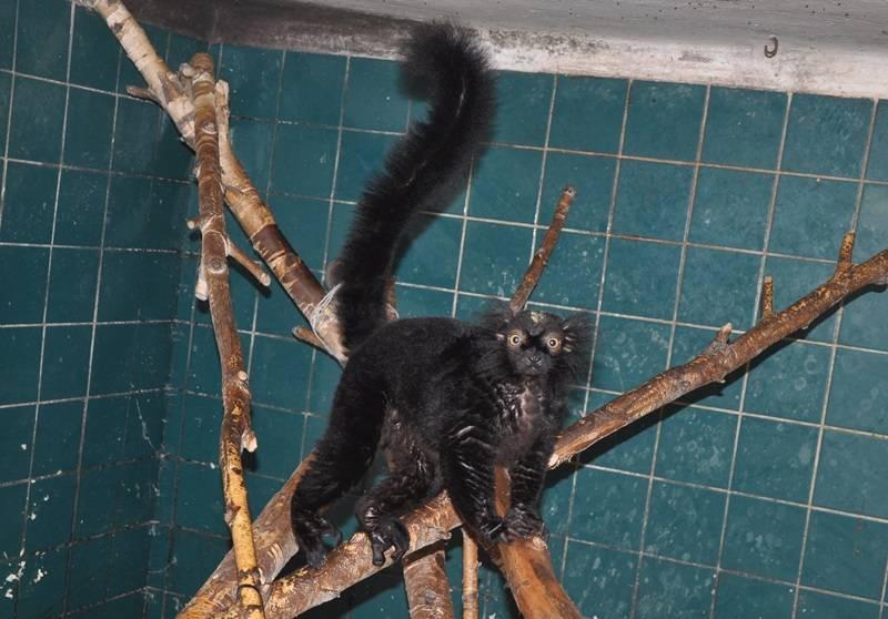 Черный лемур фото
