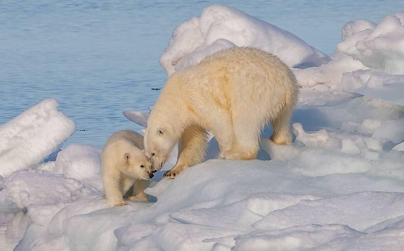 Белый медведь с медвежатами фото